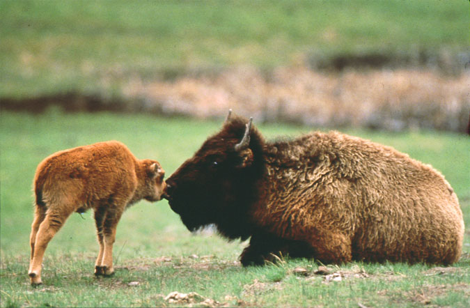 Bison and calf courtesy of Wyoming Travel & Tourism