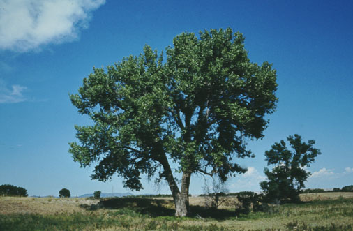 Cottonwood courtesy of Wyoming Travel & Tourism