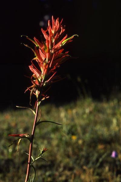 Indian Paintbrush courtesy of Wyoming Game & Fish Department