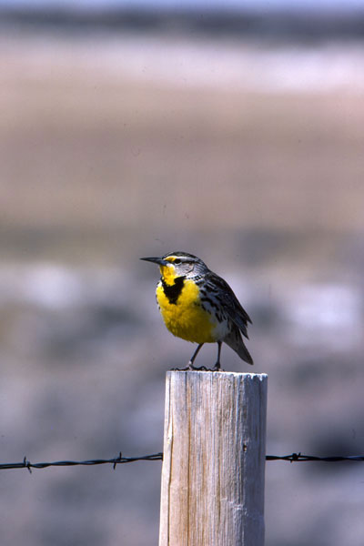 Meadowlark courtesy of Wyoming Game & Fish Department
