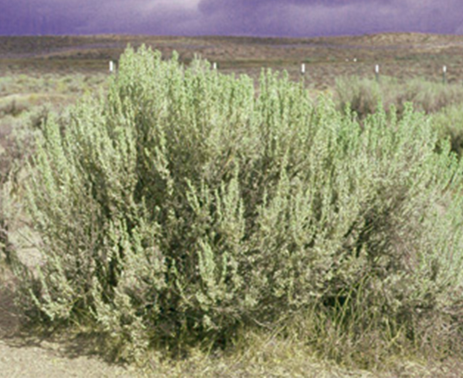 Wyoming Big Sagebrush